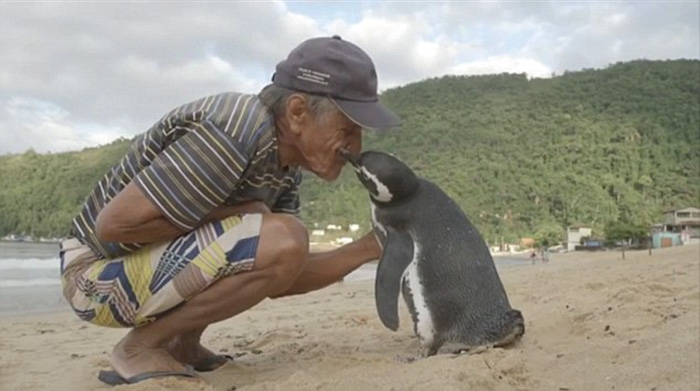 [VIDEO/PHOTOS] Penguin Swims 8,000KM Every Year To See The Man Who Saved His Life