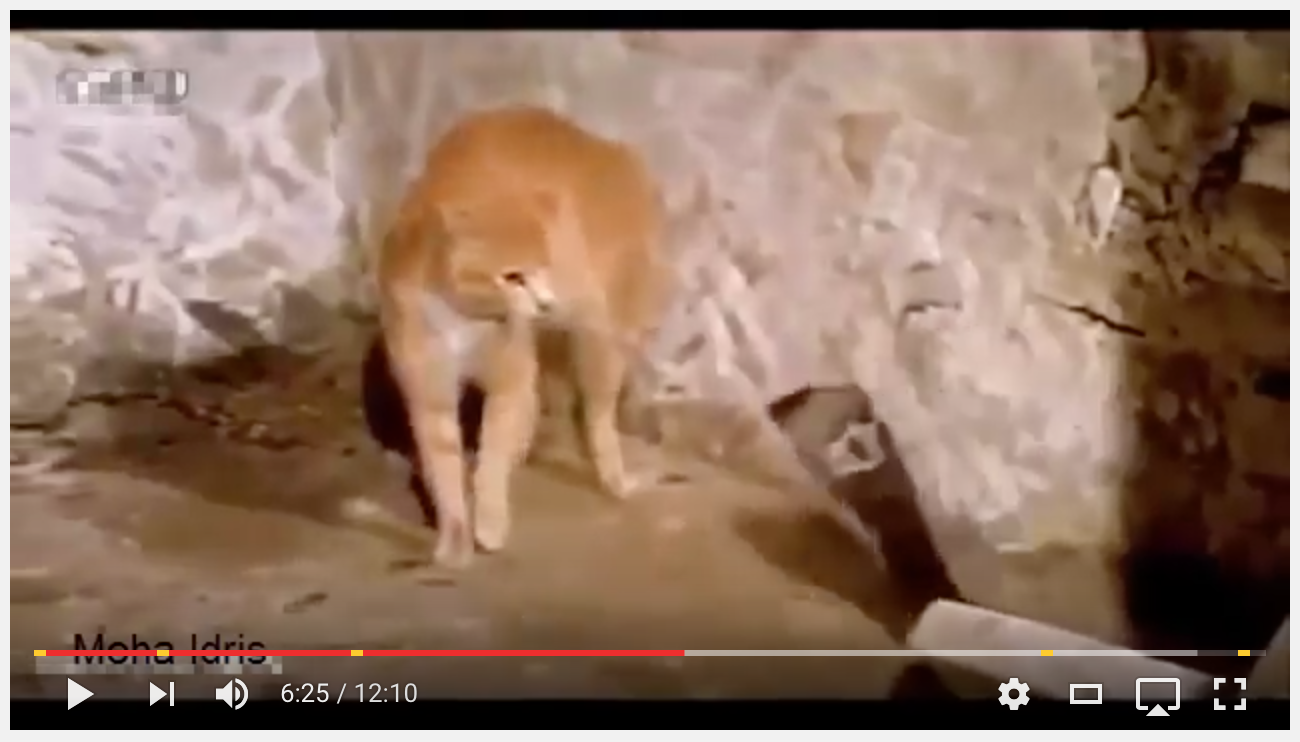 [AMAZING VIDEO] Cat/Mongoose Get The Best Of This COBRA