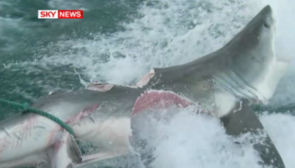 Monster Shark Off The Australian Coast! Look At The Size Of Its Bite!