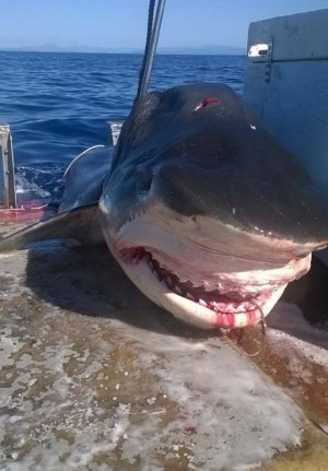 Yeah, You've Seen Shark Stories Before, But You Haven't Seen This One! Huge!