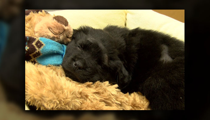 [VIDEO] Adorable Puppy That Was Shot Multiple Times Has Been Given Second Chance