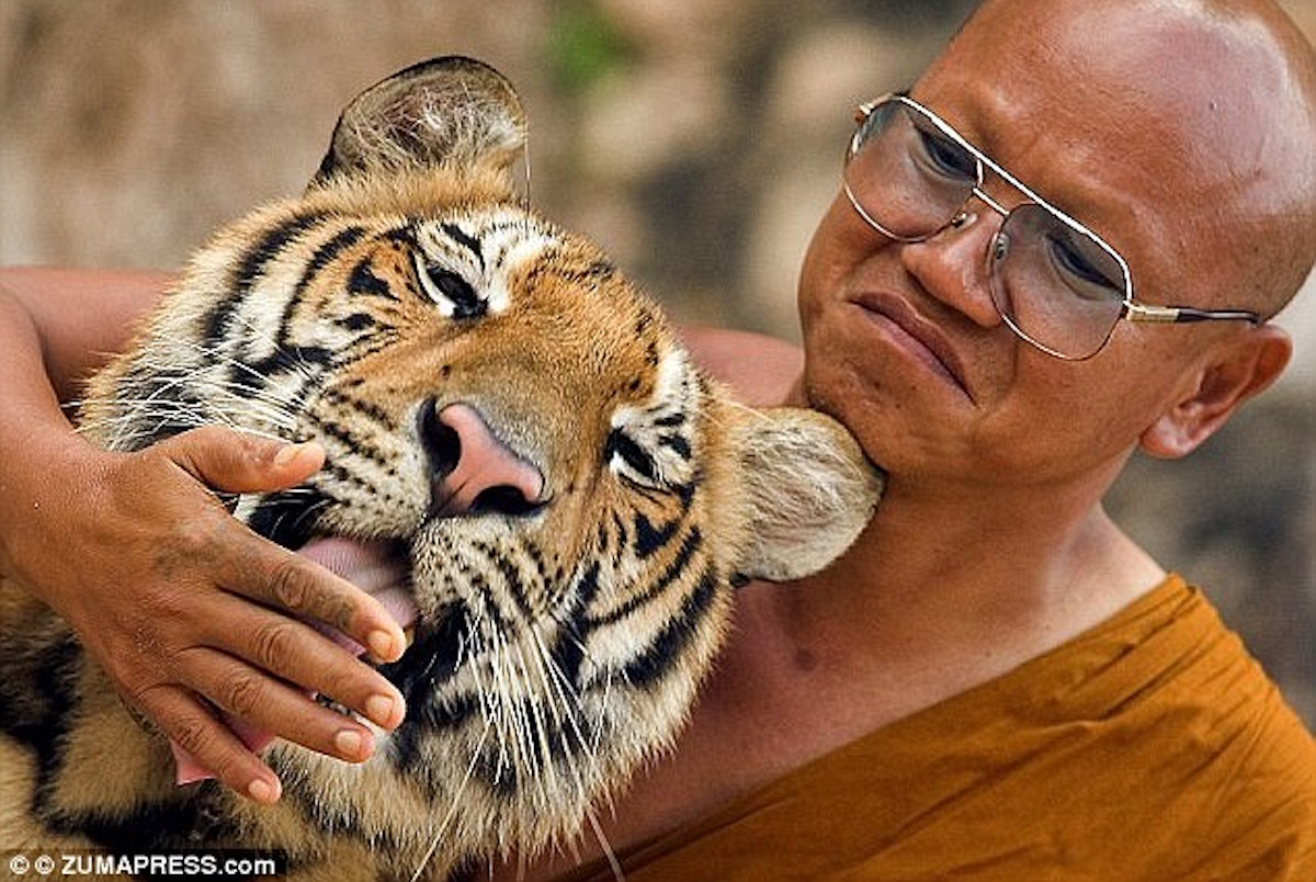 Why Were 137 Tigers Running Loose In A Thai Temple, And How Do You Catch Them?