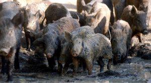 feral-hogs